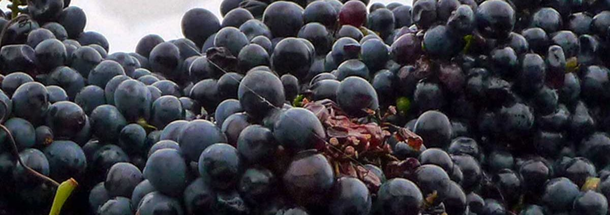 Nebbiolo grapes after harvest